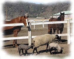 Кафедра коневодства и овцеводства