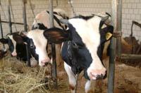 Кафедра молочного и мясного скотоводства