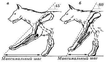 Длина шага собаки при положении лопаточной кости под различными углами
