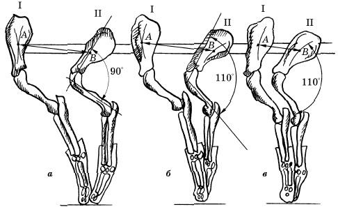 Работоспособность грудной конечности при различных углах сочленения лопатки и плеча